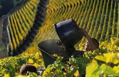 Alsace, Bourgogne, Jura : des vendanges peu juteuses