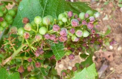 La grêle va encore plus pénaliser les ventes bien orientées des vins de Bourgogne