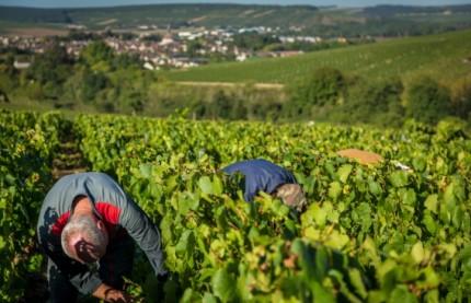 Le vin de Bourgogne retrouve une récolte quasi normale