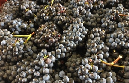 Les vendanges en Alsace, Bourgogne, Champagne et Jura riment toutes avec quantité et qualité