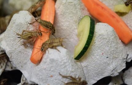 La farine d'insectes dope les pâtes et les barres de céréales d'Alim'Ento