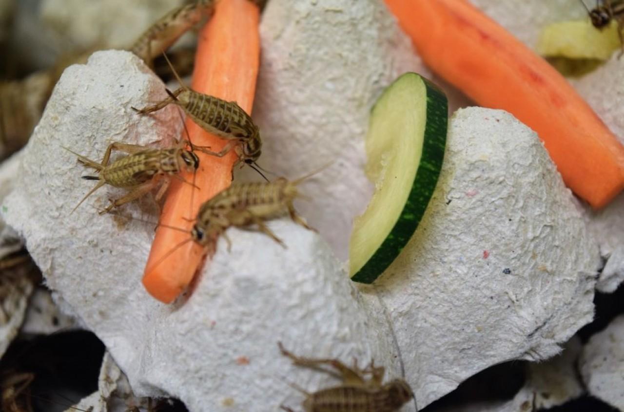 Alim'Ento invite les insectes à table : la jeune entreprise lorraine transforme les grillons en bouchées apéritives et en farine pour sa forte teneur en protéines. ©Alimento.