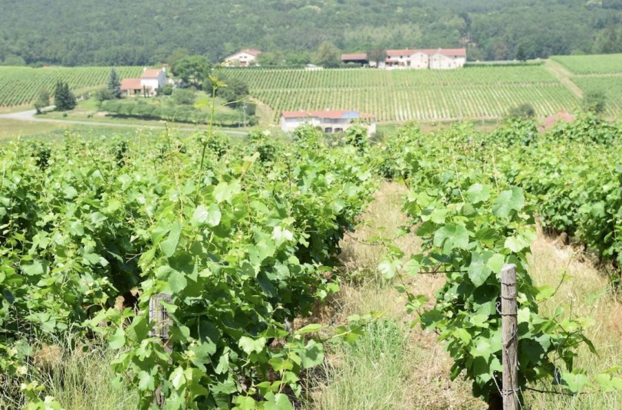 Le vignoble du Mâconnais est le plus important terroir à vins blancs de Bourgogne, avec une superficie cultivée de 5.800 hectares et 372.100 hectolitres produits en 2018. © Traces Ecrites.