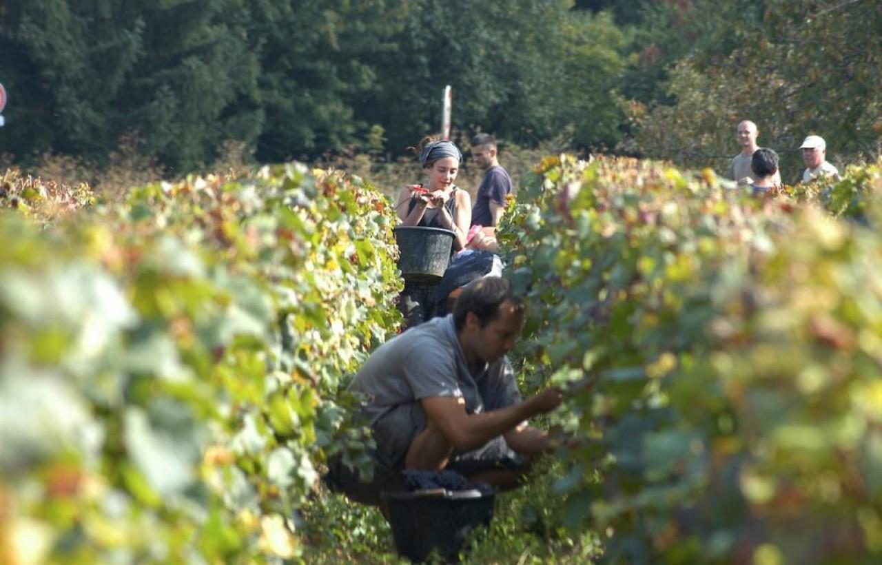 Les vendanges ont démarré dans tous les vignobles de l'est. © BIVB/Monnier H.