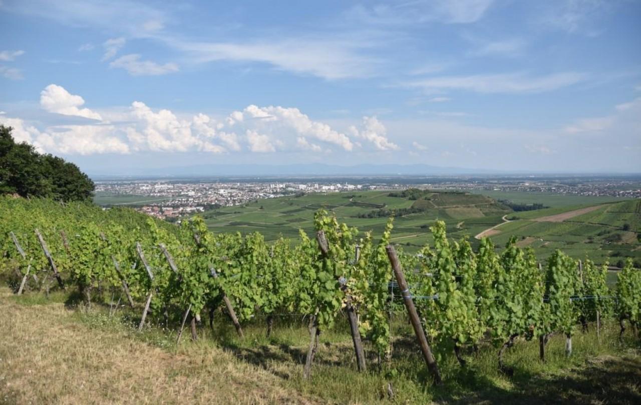 En Alsace, les cours du vin en vrac sont en-dessous des prix de revient et en 10 ans, les ventes de vin d'Alsace ont baissé de près de 20%. En photo, le vignoble près de Niedermorschwihr dans le Haut-Rhin. © Julie Giorgi