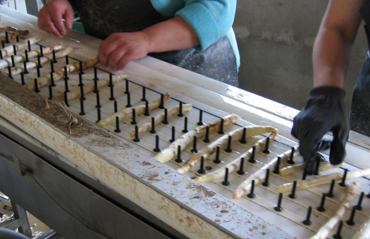 Les asperges fraîchement récoltées sont trempées dans un bain d'eau froide pour être réhydratées et portées à une température de 10 à 15 degrés, puis lavées et calibrées. ©Association pour la Promotion de l'Asperge d'Alsace.