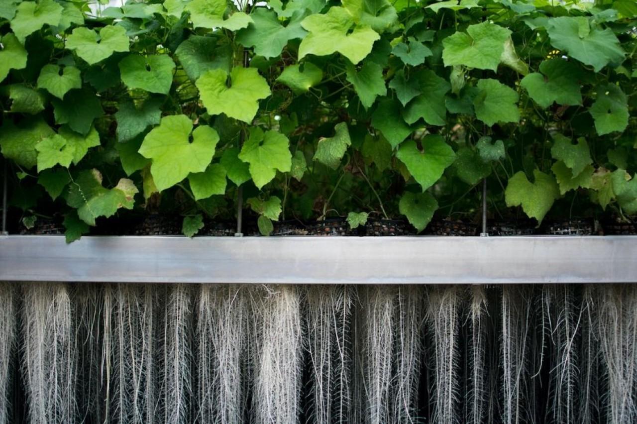 PAT est parvenue à extraire une substance anti-âge des racines de la courge éponge, une plante asiatique de la famille des cucurbitacées traditionnellement utilisée en médecine chinoise. ©PAT
