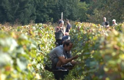 Fin de vendanges de la Bourgogne à l'Alsace, en passant par le Jura et la Champagne