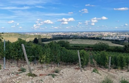 Ces vignobles méconnus de Bourgogne : pourquoi Dijon veut redevenir une cité viticole