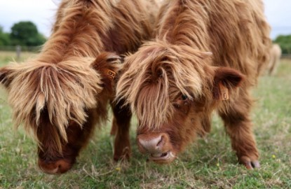 Sur la route : des vaches entretiennent l'usine Mefro Wheels, près de Troyes