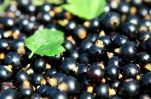 La crème de cassis de Dijon doit intégrer un minimum de 25% de baies Noir de Bourgogne.