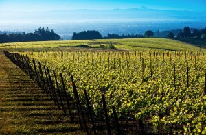 Les vignes du domaine de Roserock, propriété de 112 hectares.