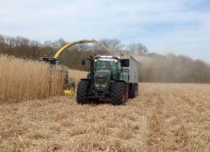 Récolte du miscanthus en ce mois d'avril destinée à fabriquer du paillis.