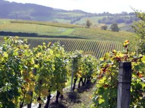 Henri Maire exploite 300 hectares de vignes dans le Jura.