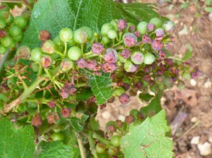 La grêle à ravagé 3124 hectares de vignes de Nuits-Saint-Georges à Mâcon en seulement 9 minutes.